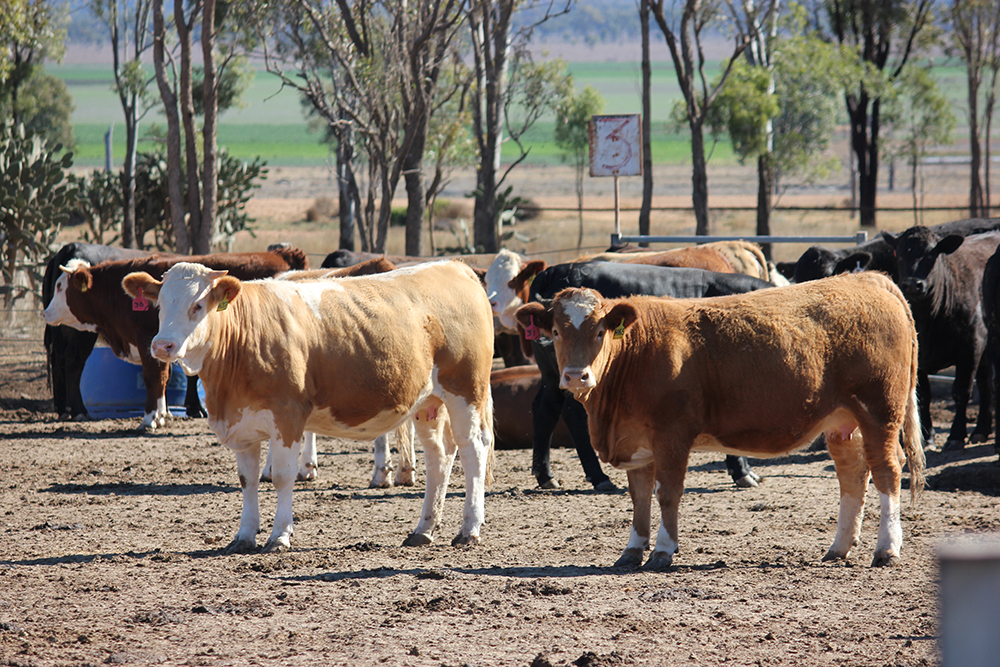 Billa Park Simmental Females – Fed-Up Feedlot 80 Days