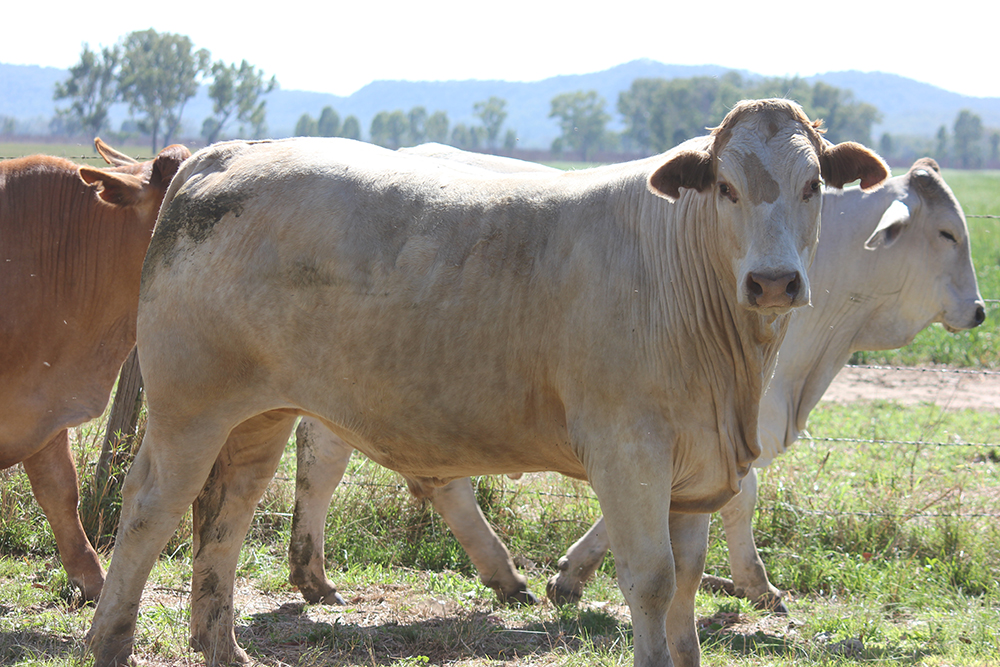 Ingelara Grazing – PCAS steers running on oats